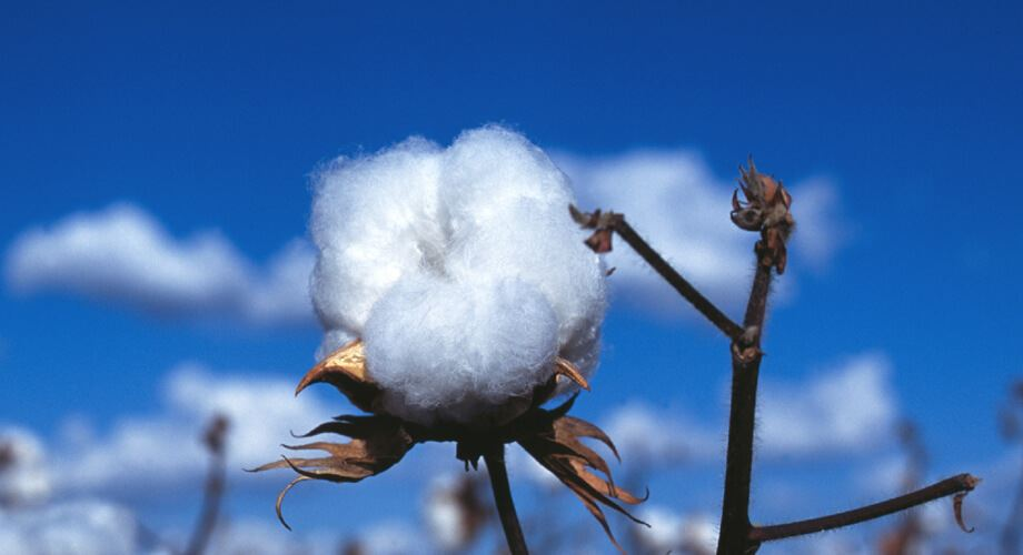 COTTON EXTRACT